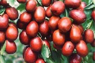 خرید درخت میوه عناب پیوندی