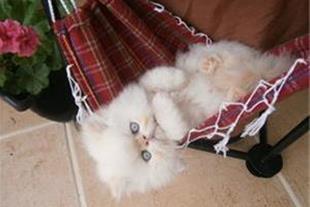 فروش بی نظیره گربه های پرشین