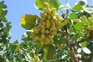 فروش بذر پسته  درجه 1 جهت کاشت درخت  پسته
