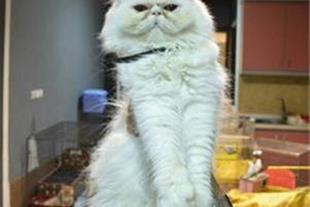 فروش گربه