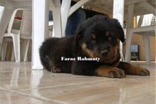 فروش توله سگهای روتوایلر 100% اصیل