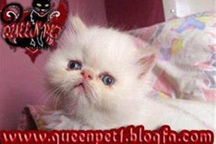 فروش گربه پرشین نر هیمالن رد پوینت بسیار زیبا و ا
