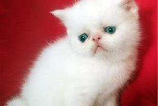 فروش توله گربه پرشین سفید چشم آبی زیر دو ماه