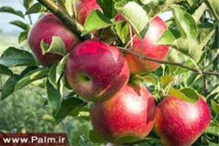 فروش نهال سیب کلی جزئی
