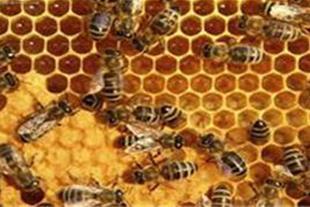 فروش عمده عسل طبیعی با ساکارز1 الی 5