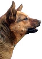 فروش سگ نگهبان