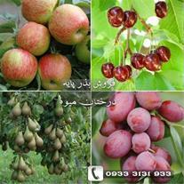 بذر پایه نهال میوه فروش بدون واسطه
