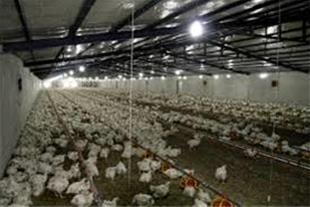 فروش مرغداری گوشتی با مجوز در نظرآباد