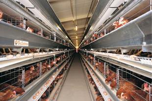 فروش مرغداری تخم گذار مدرن با تجهیزات کامل قزوین