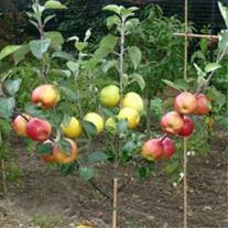 نهال چند نوع میوه