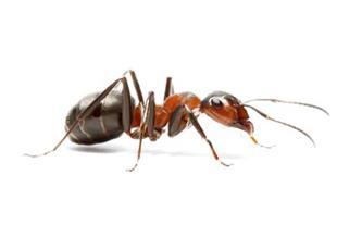 سم کشنده مورچه سای نوف ای سی