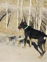 فروش سگ دوبرمن هشت ماه ماده