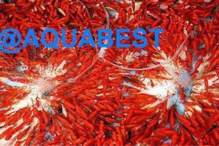 فروش عمده انواع ماهی قرمز