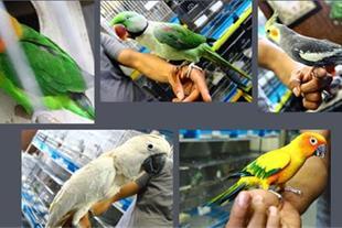 خرید پرندگان زینتی ، خریدار پرندگان زینتی