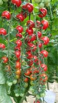 بذر  گوجه سانتلا 09199762163