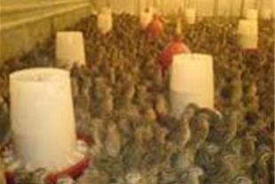 خرید و فروش تضمینی تخم و گوشت بلدرچین