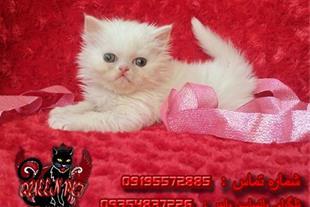 فروش بچه گربه پرشین فلت سفید نر