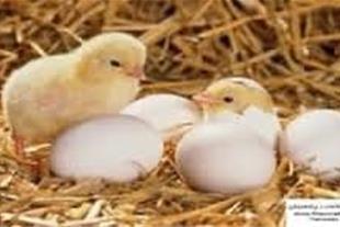 فروش جوجه یکروزه گوشتی و تخم مرغ نطفه دار راس