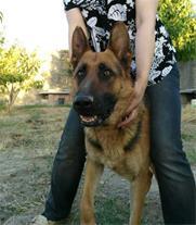 فروش سگ ژرمن شیپرد شولاین و یک گرگی نر