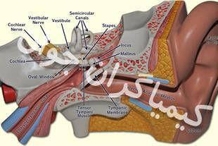 مولاژ ساختار گوش