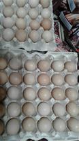 خریدار تخم مرغ محلی