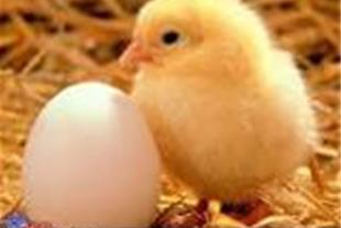 فروش جوجه مرغ نیمچه