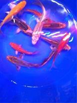 ماهی کوی 30 سانتی ، ماهی کوی بزرگ