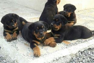 فروش ویژه توله روتوایلر - فروش سگ روتوایلر