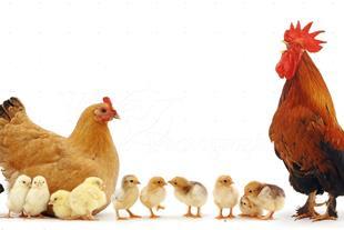 توزیع کننده تخم نطفه دار