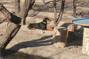 فروش سگ نگهبان توله دوبرمن اصیل