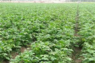 زمین کشاورزی مرغوب جیرفت