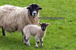 فروش گوسفند زنده در دامداری پیام