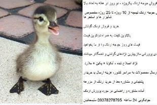 خرید اردک ، و جوجه اردک