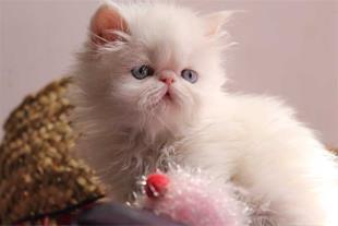 فروش بچه گربه های زیبا و اصیل پرشین