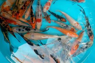 فروش انواع ماهی زینتی وارداتی