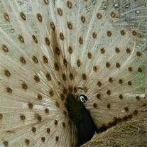 فروش تخم نطفه دار طاووس