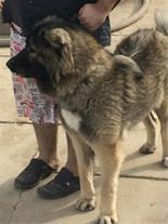 فروش سگ قفقازی