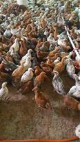 جوجه مرغ محلی یک روزه و نیمچه 2 ماهه
