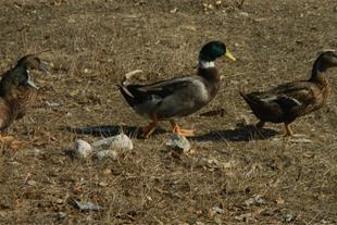 اردک کله سبز