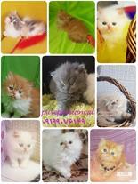 فروش بچه گربه های پرشین