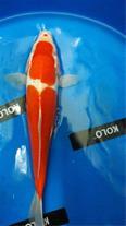 فروش ماهی کوی