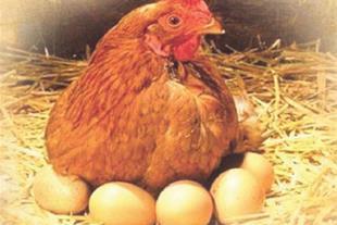 بسته آموزش پرورش مرغ بومی
