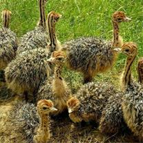فروش جوجه شتر مرغ و پروش شتر مرغ