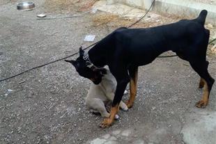 فروش سگ دوبرمن اصل نژاد بلژیک