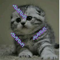 فروش گربه های اسکاتیش فولد وارداتی