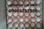 تخم مرغ محلی و رسمی تک زرده و دوزرده09905262856