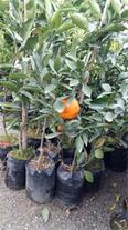فروش انواع نهال درخت میوه