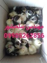 فروش جوجه اردک مسکویی مهندس سلحشور09905262856