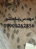 فروش جوجه کبک مهندس سلحشور09905262856