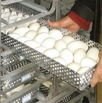 تولید عمده انواع غاز باظرفیت هفته ای 2500عدد